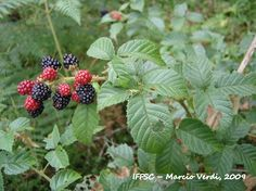 Flora Digital do Rio Grande do Sul e de Santa Catarina: Rubus brasiliensis