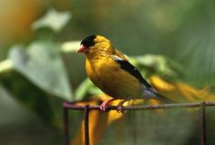 Goldfinch Perches on Rusted Wire: The state of Iowa adopted the Wild Rose as the state flower in 1897