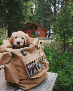 I got the Golden Retriever pup, got the mountains, and the time…PATCHES where we go! I got the Golden Retriever pup, got the mountains, and the time…PATCHES where we go! Animals And Pets, Baby Animals, Cute Animals, Sequoia National Park, Cute Creatures, Golden Retrievers, Golden Retriever Names, Mans Best Friend, Cute Puppies