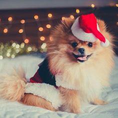 A Pomeranian at Christmas time