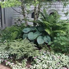 When you garden in shade, it's all about interesting foliage, contrasting textures and layering your plants. We love how the large blue hosta complements the finely textured ferns and flowering Pink Chablis lamium under a canopy of white birch trees in this shady nook. #provenwinners @impatientgardener @jackbarnwelldesign #mackinacisland #shadegarden #hosta #prettyleaves #shadeplants #gardendesign #gardeningideas by maggie