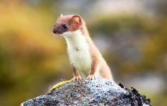 Alaska Weasel by Cecil Sanders, via Flickr