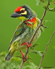 Coppersmith Barbet is a bird with crimson forehead and throat which is best known for its metronomic call that has been likened to a Coppersmith striking metal with a hammer. It is a resident found in the Indian Subcontinent and parts of Southeast Asia.