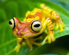 Hypsiboas picturatus, Imbabura Treefrog
