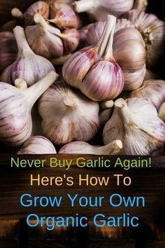Growing garlic is very easy to do: every clove will give you a full head of garlic. Start out with organic garlic and plant it in a pot indoor, or outdoors in your garden, in a container, or in raised beds. It's best to plant garlic in the fall, but plant Easy Vegetables To Grow, Planting Vegetables, Organic Vegetables, Veggies, Garlic Head, Grow Garlic, Growing Garlic From Cloves, Planter Ail, Planting Garlic