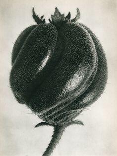 Karl Blossfeldt - Blumenbachia hieronymi (Loasacaea)