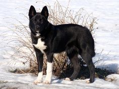 Laikas is a group of popular Russian working dog breeds (West Siberian Laika, East Siberian Laika, Russo European Laika) being used for hunting and sledding. Russian Dog Breeds, Russian Dogs, Big Dogs, Large Dogs, Dogs And Puppies, Laika Dog, Top Dog Breeds, Easy Pets, Dog Best Friend