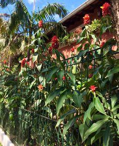 Flores de caña brava .Paraguay