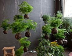 Kokedama string garden or Japanese moss ball garden String Garden, Air Plants, Garden Plants, Indoor Plants, Indoor Gardening, Organic Gardening, Hydroponic Gardening, Potted Plants, Asparagus Fern
