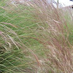 Aristida purpurea, photo courtesy of Scott Calhoun Creative Landscape, Grasses, Amazing Flowers, Landscaping, Herbs, Purple, Garden, Plants, Lawn