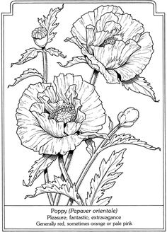 Poppies line drwing Dibujos Zentangle Art, Coloring Book Pages, Silk Painting, Digital Stamps, Botanical Illustration, Art Tutorials, Flower Art, Embroidery Patterns, Poppies