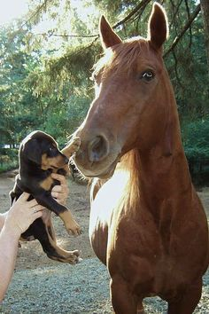 Little Doxie pup greets a horse ♥: