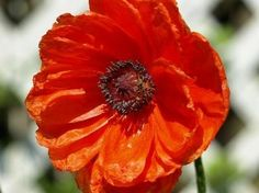 Google Image Result for http://img.ehowcdn.com/article-new/ehow/images/a07/l2/p1/seed-oriental-poppies-800x800.jpg