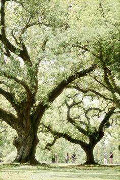 A reason to visit New Orleans again this year when the trees are filled out. Majestic Oaks, Audubon Park, New Orleans