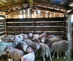 Świniarka sheep