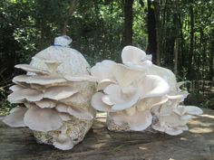 Cultivate Mushrooms at home or at your farm, simply and effectivelly. Meet the mushrooms | Mushroom Mountain
