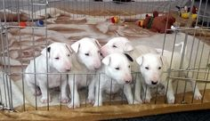 Looking at bull terrier puppies in California...
