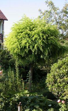 Auch die Kugelrobinie (Robinia pseudoacacia 'Umbraculifera') entwickelt eine kreisrunde Laubkrone, sie bleibt mit fünf bis sechs Metern ziemlich klein und wächst außerdem recht langsam. Der Baum verträgt volle Sonne, ist ansonsten recht anspruchslos, kommt aber auf nährstoffreichen, lockeren, sauerstoffreichen Böden am besten zurecht.