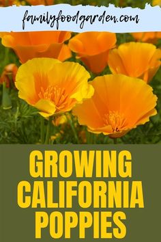 When looking for an easy flower to grow, Family Food & Garden puts California Poppies at the top of the list. This is a great flower for beginners to start their gardening journey. This is a beauty in your garden and returns every year being an annual flower. Also known as Breadseed Poppies, it is a highly drought tolerant wildflower that can tolerate beginners' mistakes. Learn how to grow your own California Poppies here… #californiapoppiesguide #breadseedpoppiesguide #growcaliforniapoppies Growing Poppies, Easiest Flowers To Grow, Orange California, Healthy Fruits And Vegetables, Annual Flowers, Drought Tolerant, Red Poppies, Beautiful Gardens, Family Meals