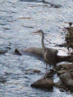 Bernat pescaire de capvespre sucant els peus al riu Rigat