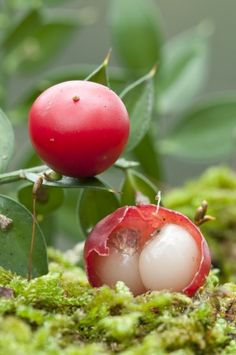 Butcher's broom (sometimes called box holly) | Blood circulation for treating hemorrhoids and varicose veins