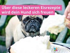 Über diese leckeren Eisrezepte wird dein Hund sich freuen Wer kennt das nicht? Ausflüge im Sommer, natürlich mit Hund - ob Radtouren oder lange Spaziergänge, bei der Pause in der Eisdiele schaut dein Hund mit großen Augen dein kaltes Leckerli an... Du denkst dir:... #eisfürhunde #eishund #eishunde