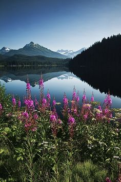 Scenic View Of Auke Lake On A Clear Day With Fireweed In The Foreground | Juneau | Alaska | Photo By Mark Kelley