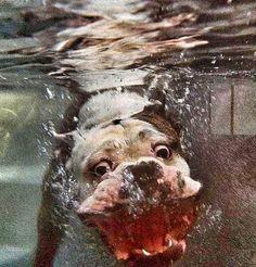 American Bulldog underwater silliness.