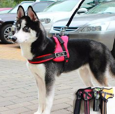 Dog Harness - This No-Pull Dog Training Sport Harness is a great fit for medium to large size dogs. Its ergonomically designed to be comfortable and breathable.
