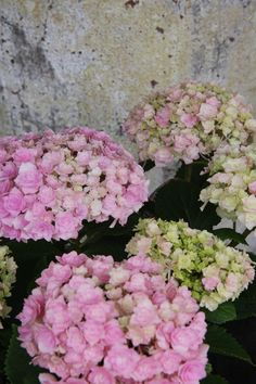 hydrangea galaxy Limelight Hydrangea, Pink Hydrangea, Hydrangeas, Fingers, Floral Wreath, Shades, Wreaths, Green, Plants