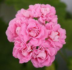 Swanland Pink / Australien Pink Rosebud