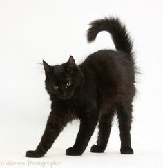 Russian Blue Cats Kittens Fluffy black kitten, 12 weeks old, stretching with arched back like a witch's cat Warrior Cats, Pretty Cats, Beautiful Cats, Dibujos Anime Chibi, Cat Anatomy, Cat Reference, Cat Pose, Russian Blue, Cat Photography