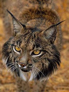 "Iberian Lynx ""The Iberian lynx, Lynx pardinus, is a critically endangered species native to the Iberian Peninsula in Southern Europe. It is one of the most endangered cat species in the world. According to the conservation group SOS Lynx, if this species died out, it would be one of the few feline extinctions since the Smilodon 10,000 years ago."" (via 100% Animal) by macie_sloan"