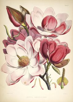 Magnolia Campbellii, Illustrations of Himalayan plants, J.F. Cathcart, J.D. Hooker, W.H. Fitch. London :L. Reeve,1855.