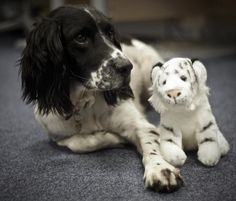 We posted on Instagram: You can get a free cuddly tiger when you buy a Pilot MR pen.  We counted the tigers and we were one short. Herbie had made a new friend. #pilotmr #pilot #herbie #spanielintheworks #tiger #dog #bffs #friends