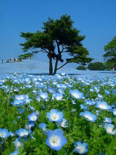 Bluebell Field, Hitachi Kaihin Park, Japan
