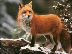 A red fox wanders through the Celtic garden   Winter Red Fox, red fox, snow, tree, winter