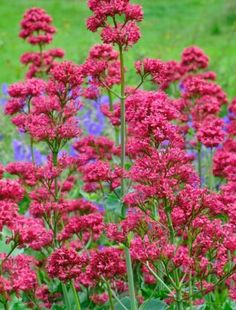 I love these plants especially when they seed freely. They produce foaming heads of small, deep pink flowers. These froth from grey-green stems that car. Outdoor Flowers, Lilac Flowers, Xeriscape, Plants, Hardy Plants, Beautiful Flowers, Plant Design, Pink Plant, Perennial Garden