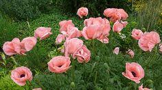 papaver juliane poppy beth chatto garden via Gardenista
