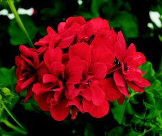 The classic red geranium.  A symbol of the American Suburban Landscape.  Timeless, resilient and wonderfully nostalgic.  No self-respecting Southern gardener would forget to plant these ... EVERYWHERE!!!