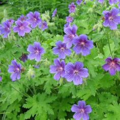 blue/purple perenials