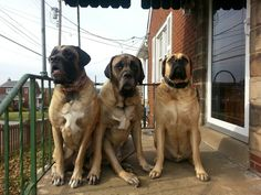 Ruca, BIGGS and Brutus.. Awesome #Mastiff - Musketeers!