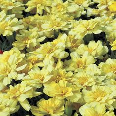 Miss Marla ?   -  Alumia Vanilla Cream is a uniquely-colored pale cream marigold from seed. Developed by the premier marigold breeder in the world, it is strong-stemmed, long-blooming, and bright, part of the Alumia series of French marigolds.