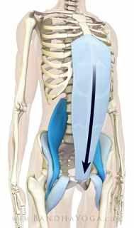28. tadasana_step2 (2nd bandha, abdominal aponeurosis, abdominal wall fascia and action)
