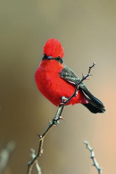 The vermilion flycatcher (Pyrocephalus rubins) measures between 5 and inches in length and has a bright red crown and underparts. Vermilion Flycatcher, Carved Wooden Birds, Beautiful Birds, Carving, Cool Stuff, Firebird, Photography, Painting, Animals