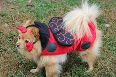 "Office dog Teddy says, ""I'm not a lady bug, I'm a *gentleman* bug!  Thanks, @PetSmart!"""