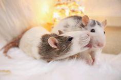 Rat kisses Funny Rats, Cute Rats, Animals And Pets, Cute Animals, Strange Animals, Dumbo Ears, Rat Toys, Pocket Pet, Cat Mouse
