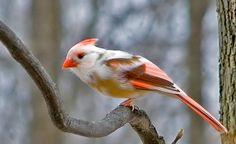 Leucistic pied Northern Cardinal, photo by Anne Page, Broad Run, Virginia