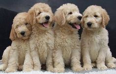Pin By Mary S Picklesimer On Goldendoodle Goldendoodle