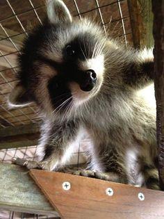 Baby Raccoon I Love Animals Cute Baby Animals Cute The Animals, My Animal, Cute Baby Animals, Funny Animals, Strange Animals, Cutest Animals, Wild Animals, Funny Horses, Baby Raccoon